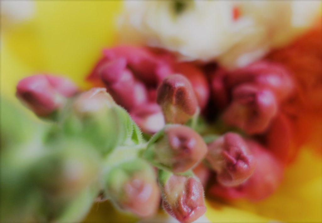 花開く前のつぼみ